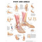 Anatomical Chart - Foot & Ankle (Flexible Lamination)
