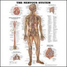 Anatomical Chart - The Nervous System (Plastic Laminate)